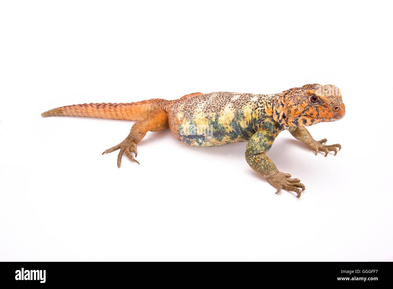 South Arabian Spiny-tailed Lizard  (Uromastyx yemenensis) Yemen - Stock Image