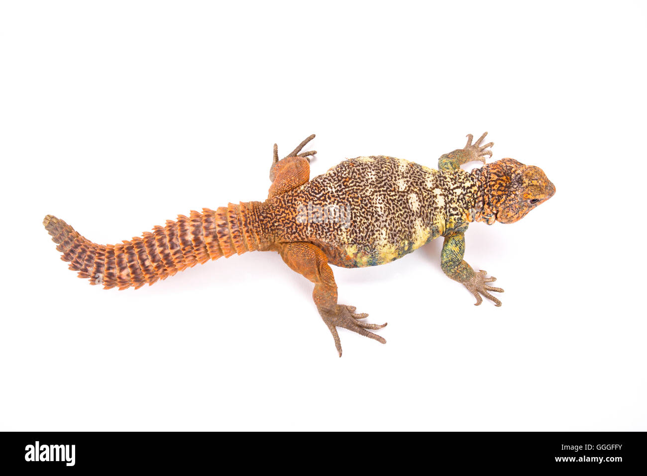 South Arabian Spiny-tailed Lizard  (Uromastyx yemenensis) Stock Photo