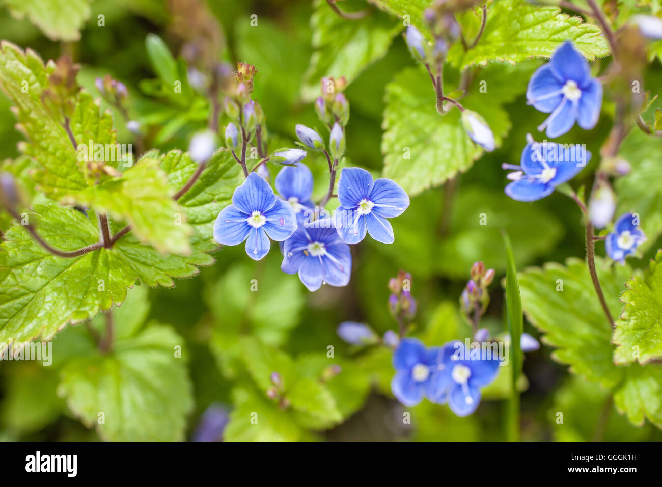 botany, prize (Veronica's Closet) in the mountains in South Tyrol, Italy, Additional-Rights-Clearance-Info-Not - Stock Image
