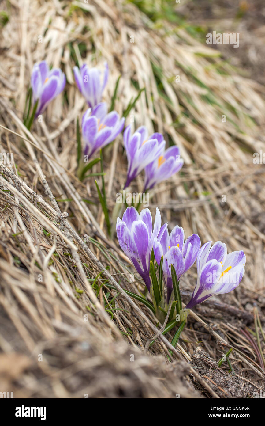 botany, lilac crocus in the Knuttental, Rein in Taufers, Reintal, South Tyrol, Italy, Additional-Rights-Clearance - Stock Image
