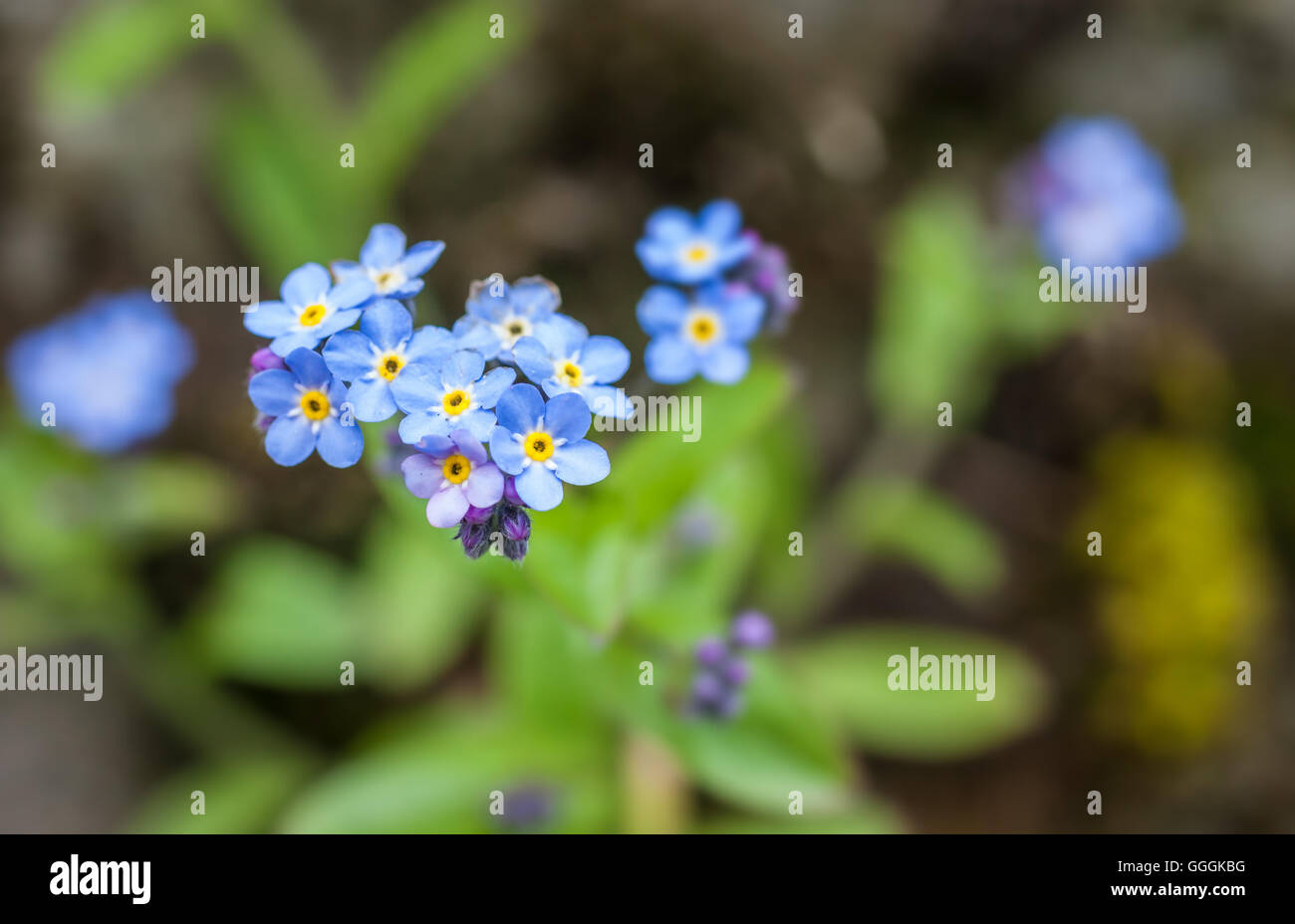 botany, forget-me-not (Myosotis) in the mountains in South Tyrol, Italy, Additional-Rights-Clearance-Info-Not-Available Stock Photo
