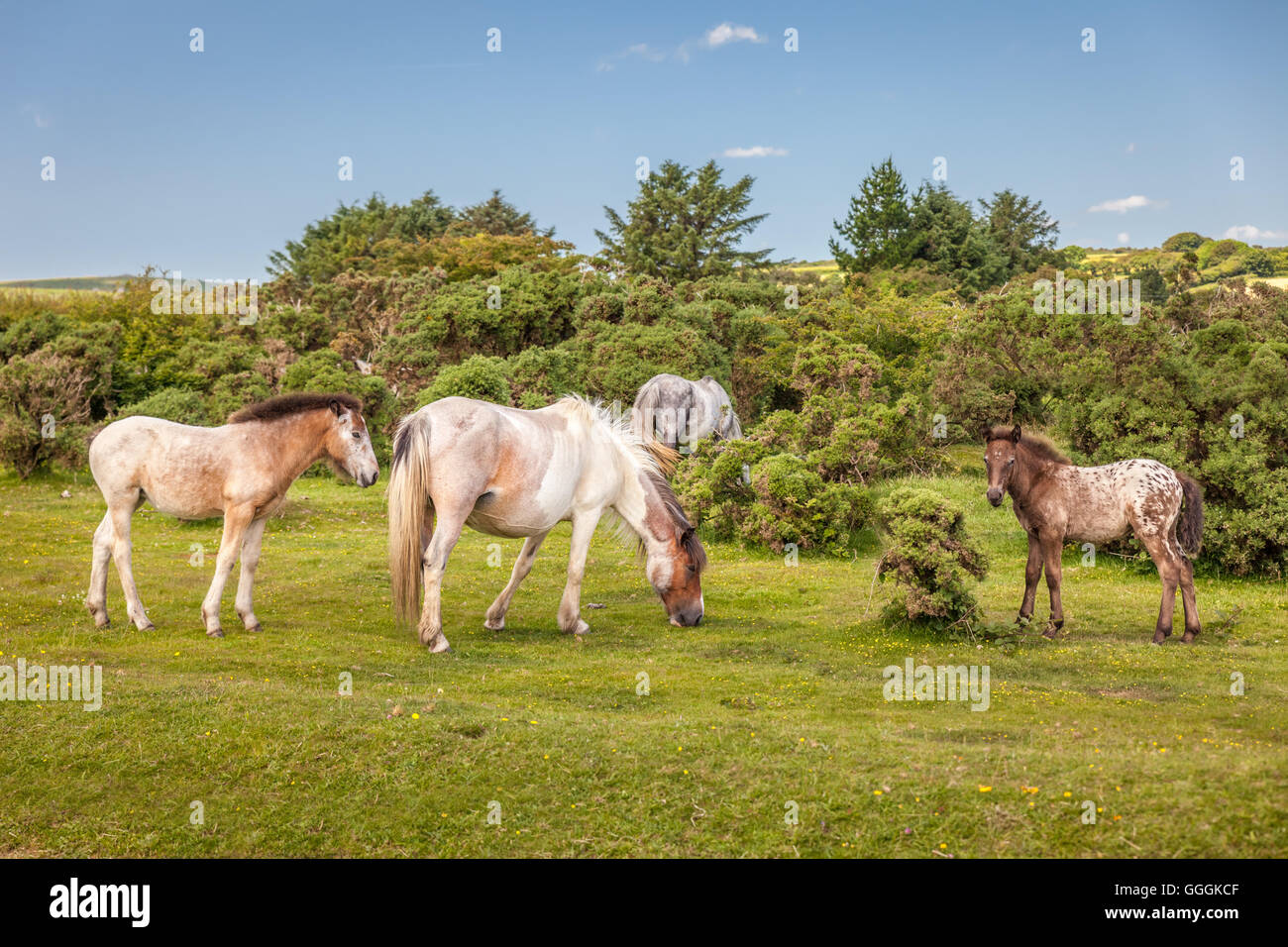 zoology, mammal (mammalia), savage Bodmin fen pony at St. Neot, Cornwall, Additional-Rights-Clearance-Info-Not-Available Stock Photo