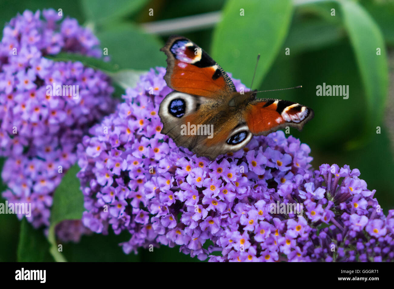Peacock butterfly on Buddleia - Stock Image