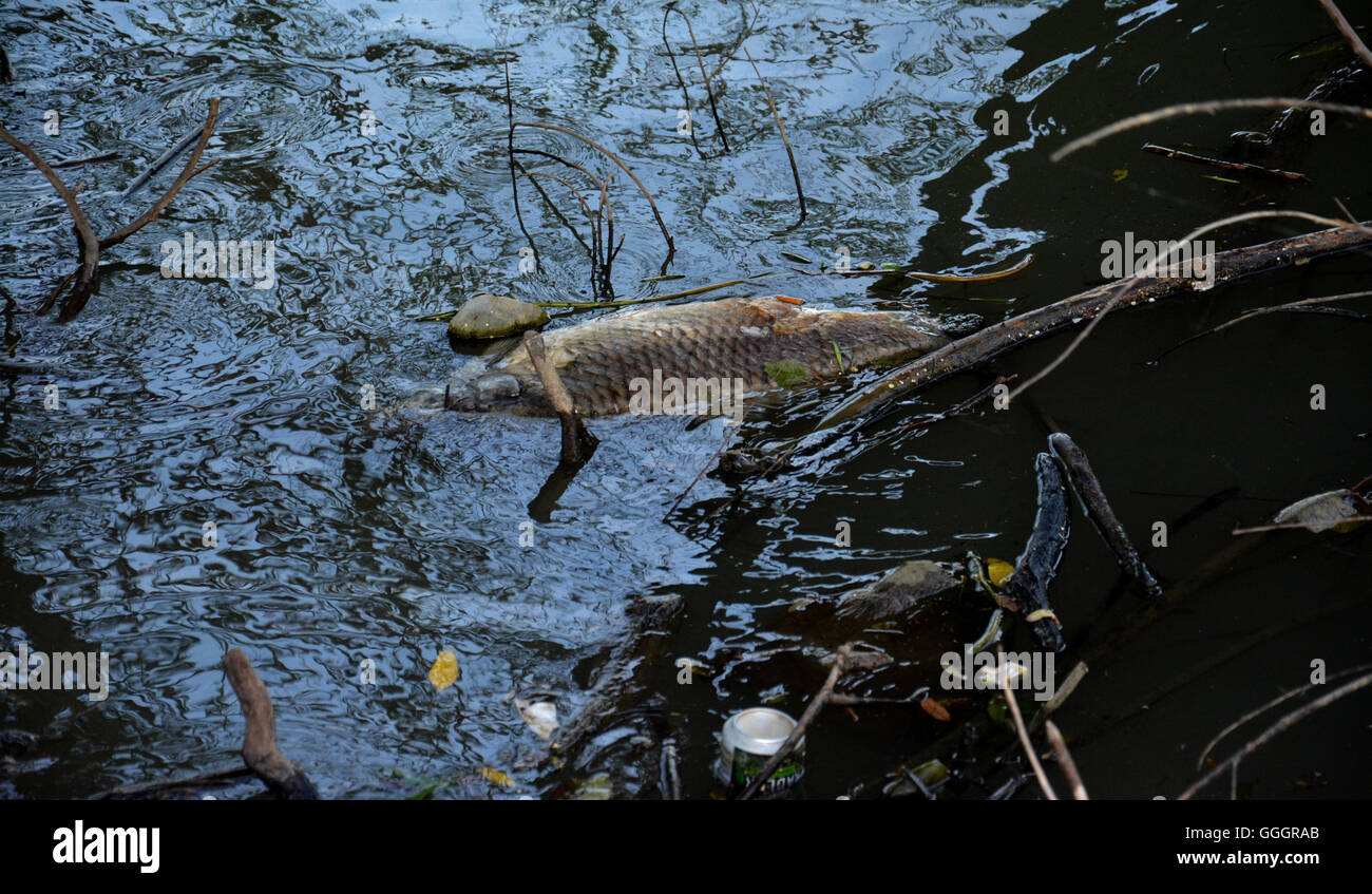 Dead fish floated in the dark water, water pollution - Stock Image