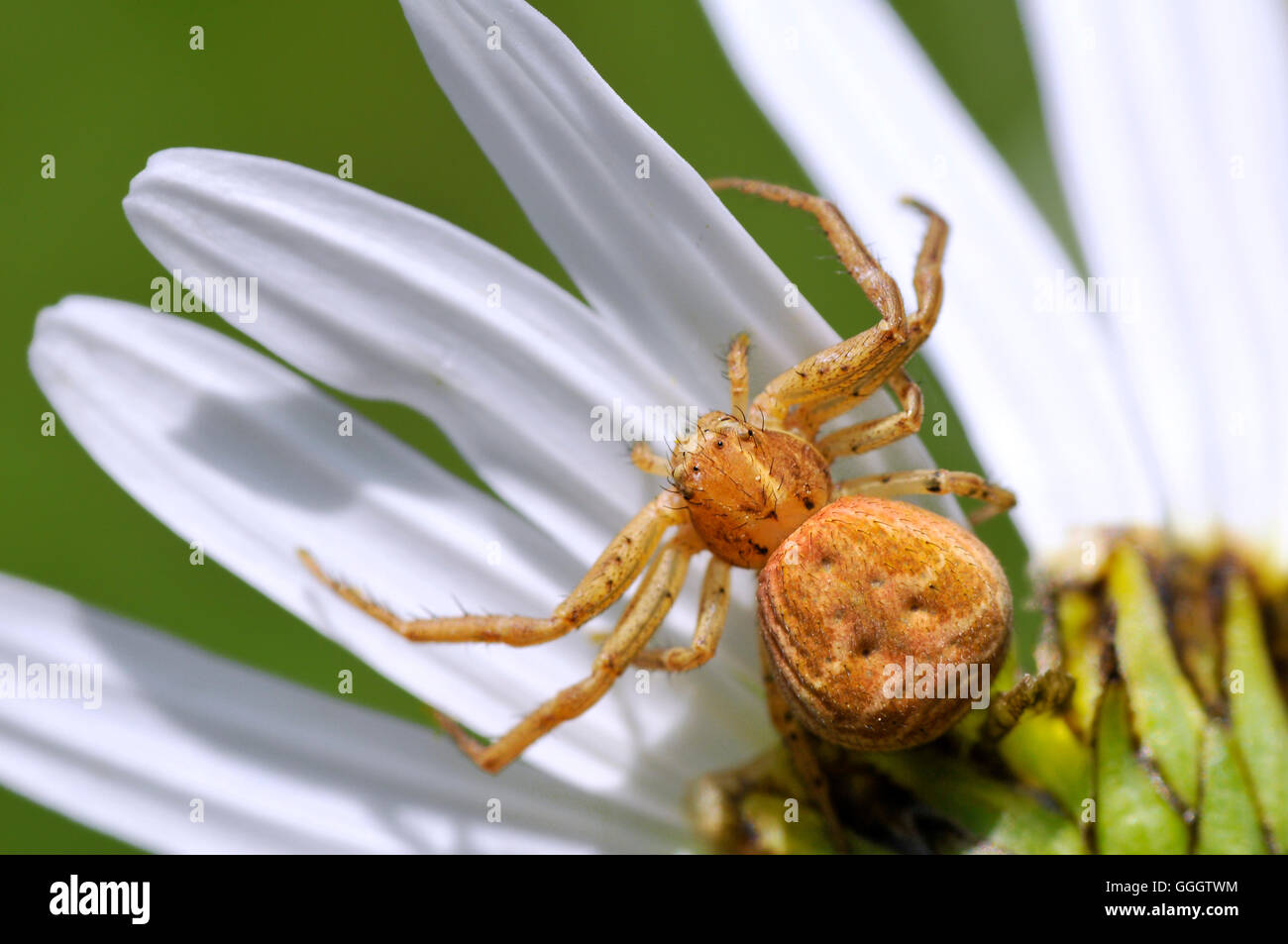 Macro of crab spider (Misumena vatia) on petal daisy flower on blue sky background - Stock Image