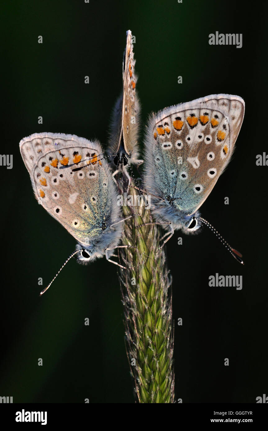 Three common blue butterflies at rest on a seed head UK - Stock Image
