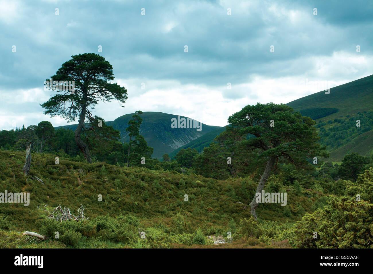 Scots Pine, Glen Feshie, Cairngorm National Park - Stock Image
