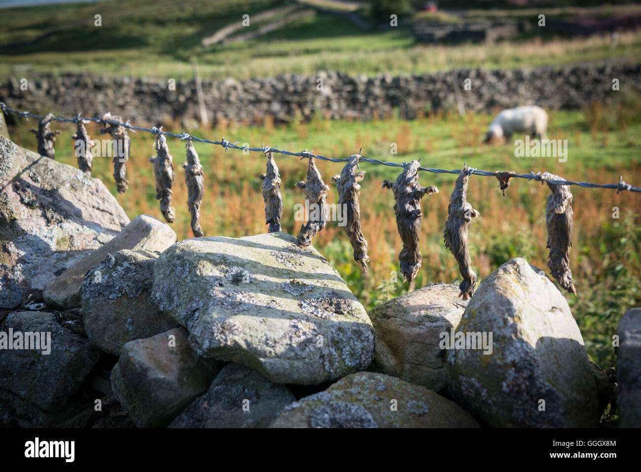 Dead creatures drying on barbed wire near Little Eggleston Beck, Teesdale, County Durham, UK - Stock Image