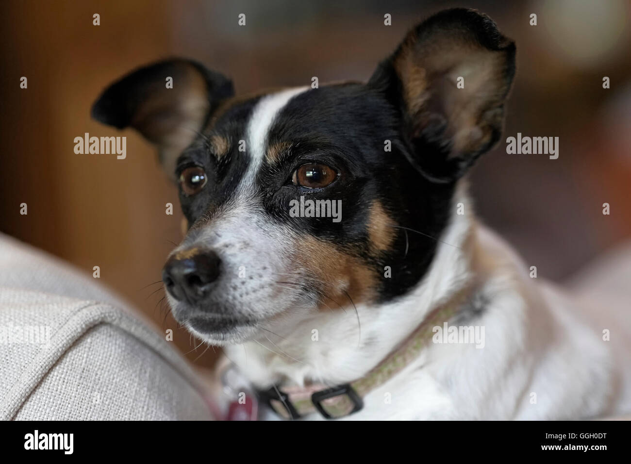 Rat Terrier dog on sofa looking out window. Black and white dog. - Stock Image