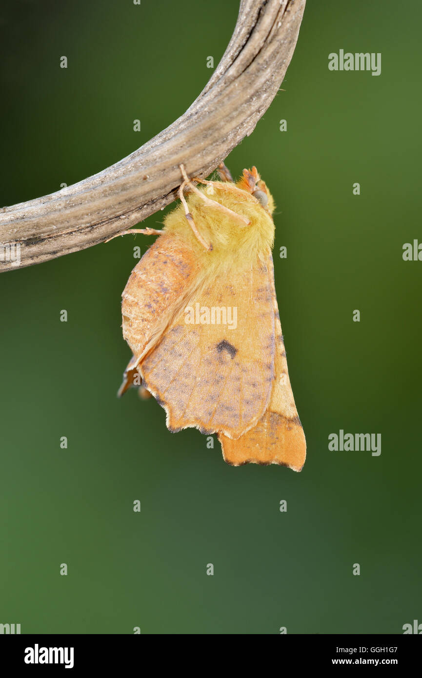 Canary-shouldered Thorn - Ennomos alniaria - 70.234 (1913) - Stock Image