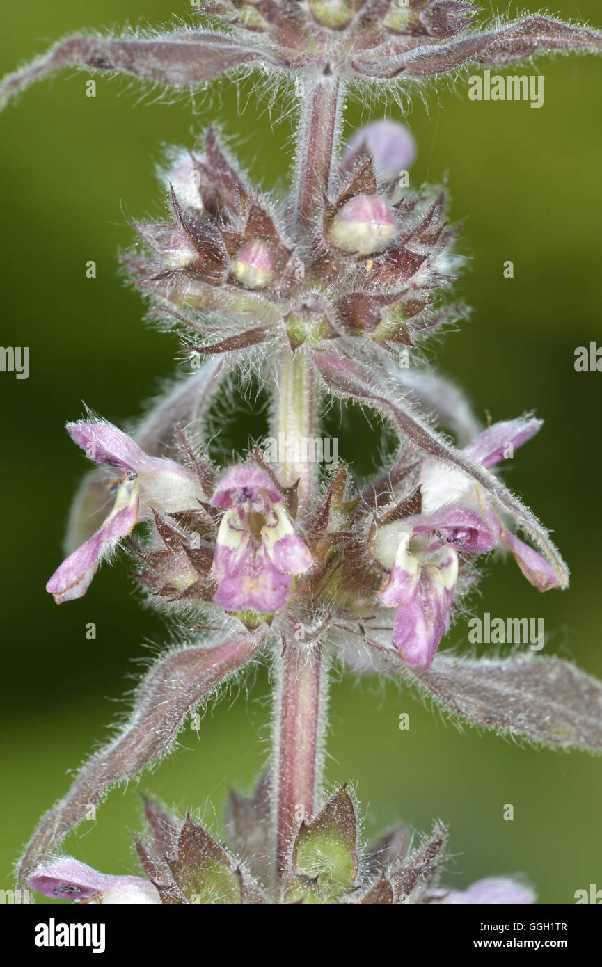 Limestone Woundwort - Stachys alpina - Stock Image