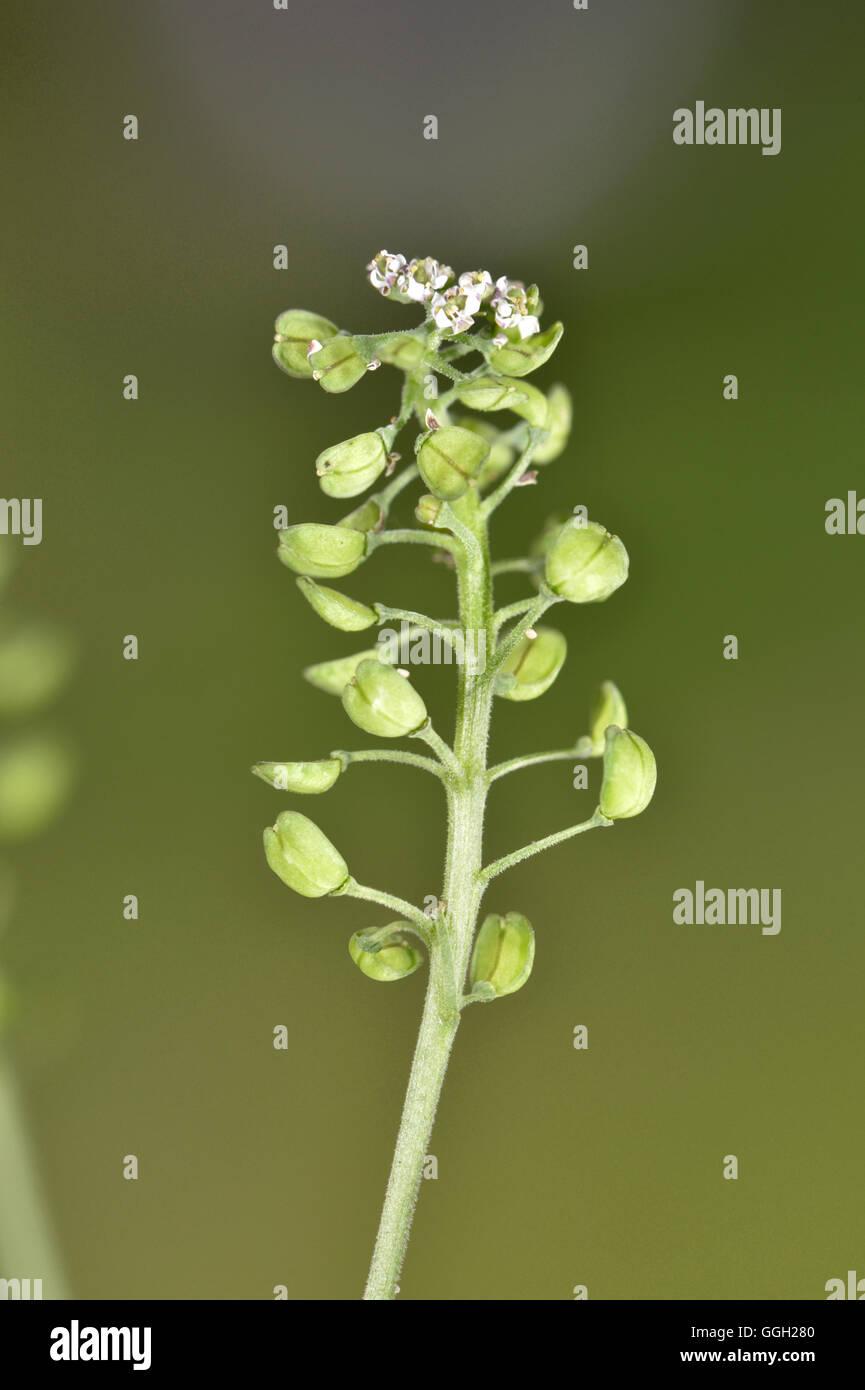Shepherd's Cress - Teesdalia nudicaulis - Stock Image