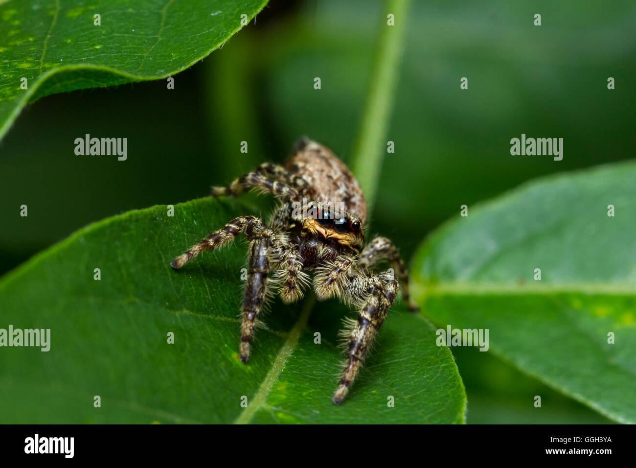Springspinne, Insekt, Spinne, Tier, Fauna, Beine, Körper, Augen, Makro, Nah, groß, spider, natur, blatt, - Stock Image