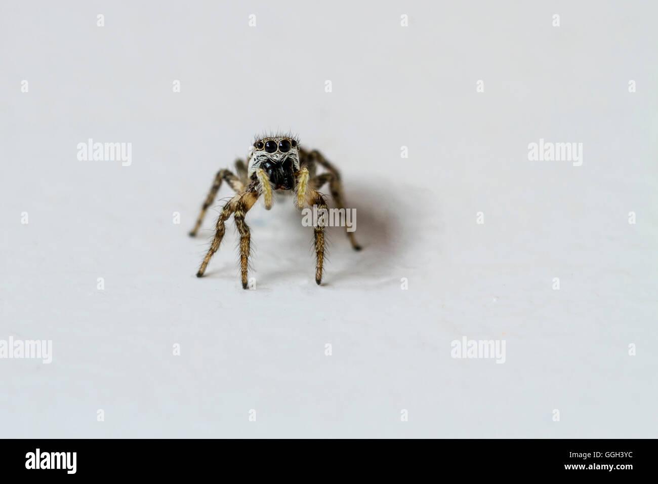 Springspinne, Insekt, Spinne, Tier, Fauna, Beine, Körper, Augen, Makro, Nah, groß, spider, natur, Zebraspringspinne - Stock Image