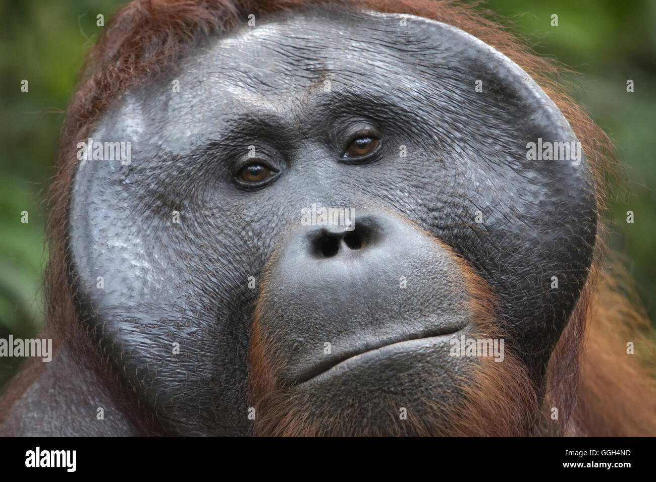 Orangutan, Indonesia. Native to Indonesia and Malaysia, orangutans are currently found in only the rainforests of - Stock Image