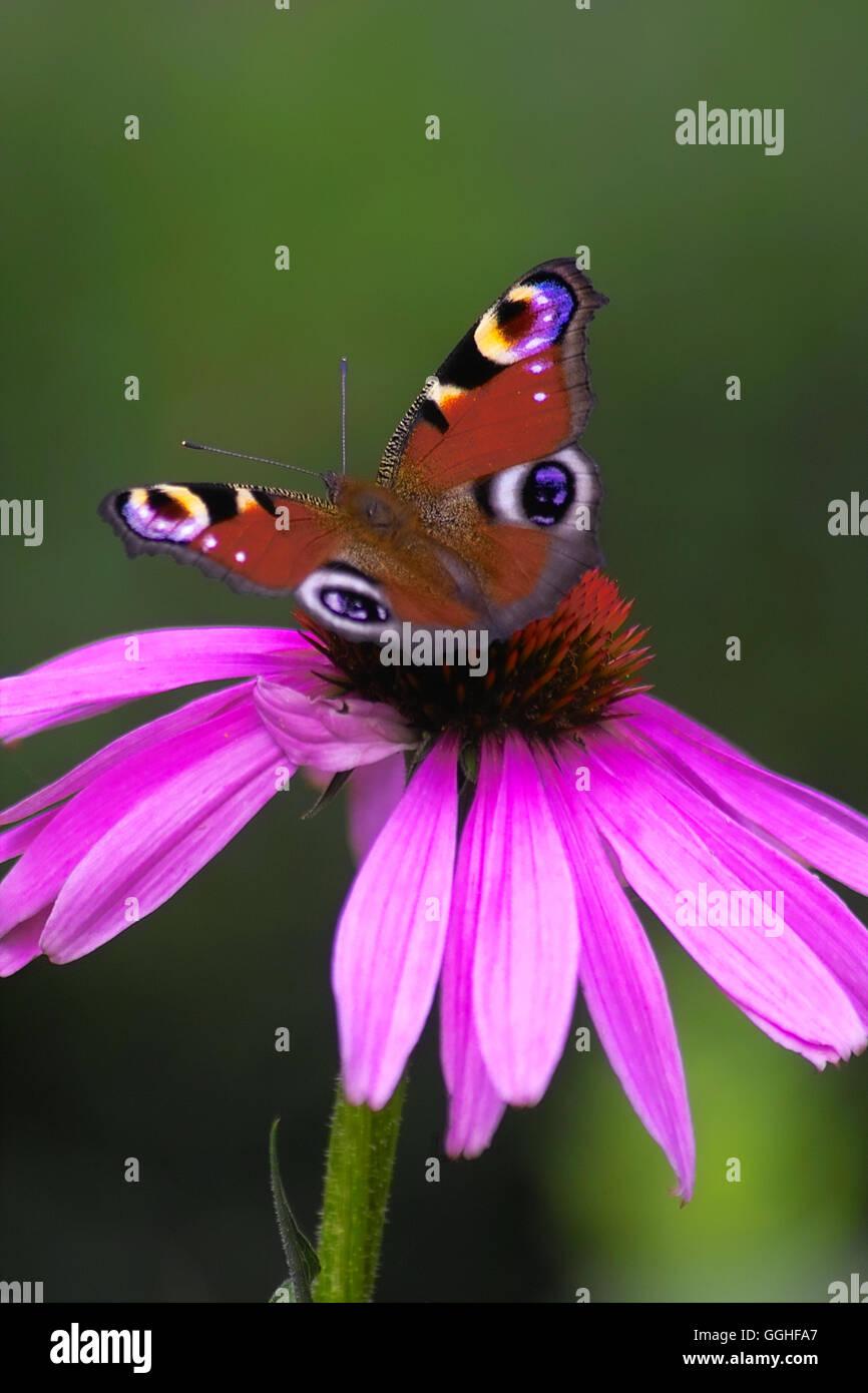 Purple Coneflower, Cone Flower / Purpur-Sonnenhut (Echinacea purpurea) with Tagpfauenauge (Aglais io, Inachis io, - Stock Image