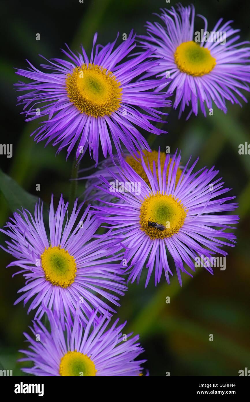 Blue Aspen Fleabane / Feinstrahl, Berufskraut (Erigeron speciosus) erigeron cultorum, cultivars, blue flower, Stock Photo