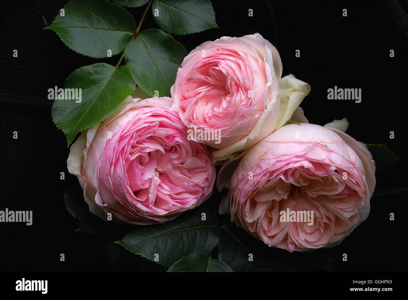 Pink double Rose / Gefüllte rosa Rose 'Eden Rose' double, Eden Rose, rose,  double flowered, double, roses, pink rose, antique,