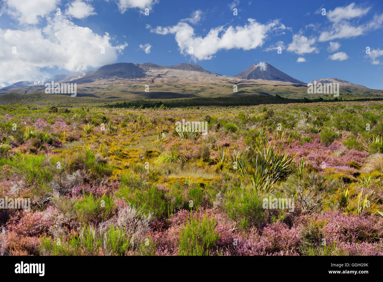 Flowering heather (Ericaceae), Mount Ngauruhoe, Tongariro Nationalpark, Manawatu-Manganui, North Island, New Zealand - Stock Image