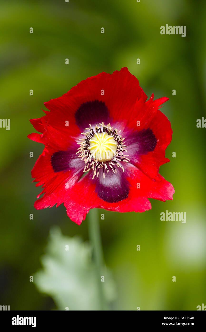 Red Opium Poppy Red Annual Poppy Flower Roter Schlafmohn Stock