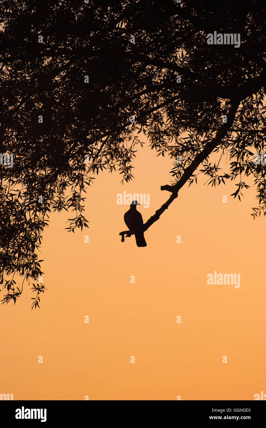 Silhouette of a Pigeon, Dove on branch in sepia colored sundown / Silhouette einer Taube im Sonnenuntergang - Stock Image