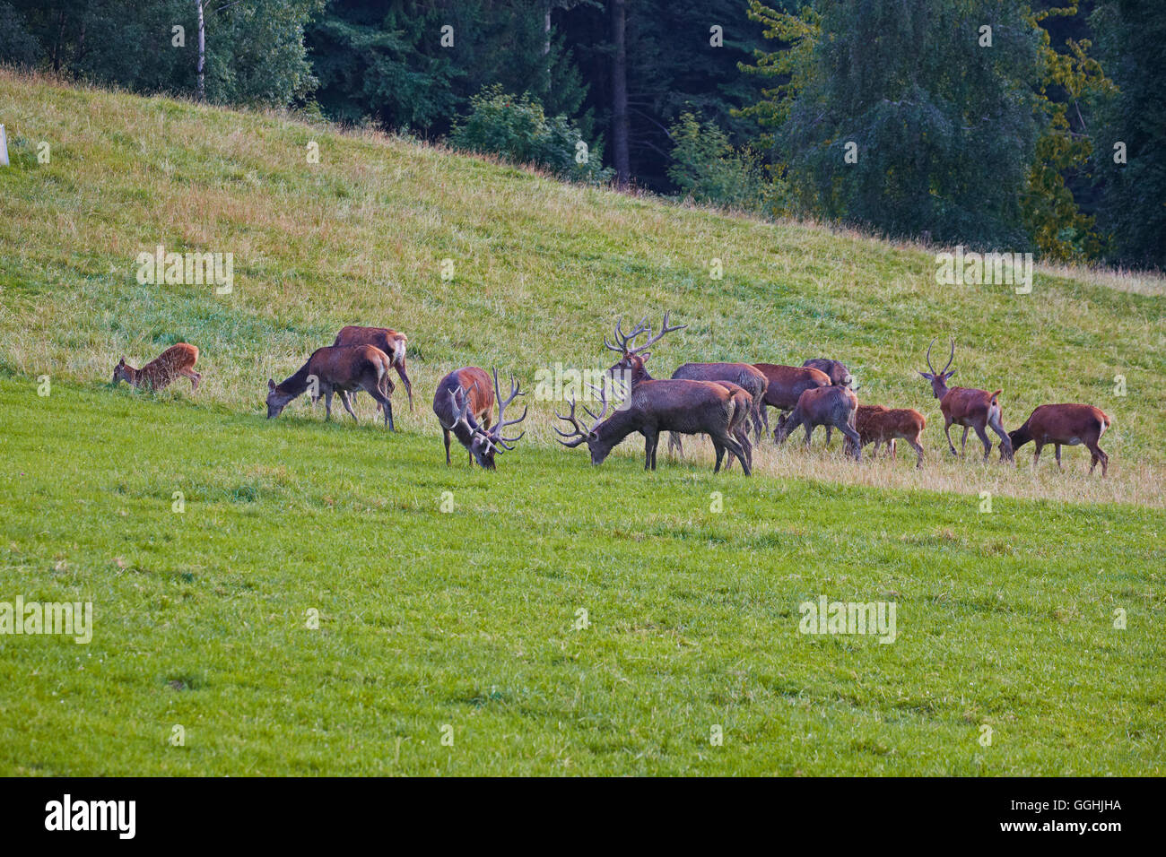 Deer on Pfaender mountain, Near Bregenz, Bodensee, Austria, Europe Stock Photo