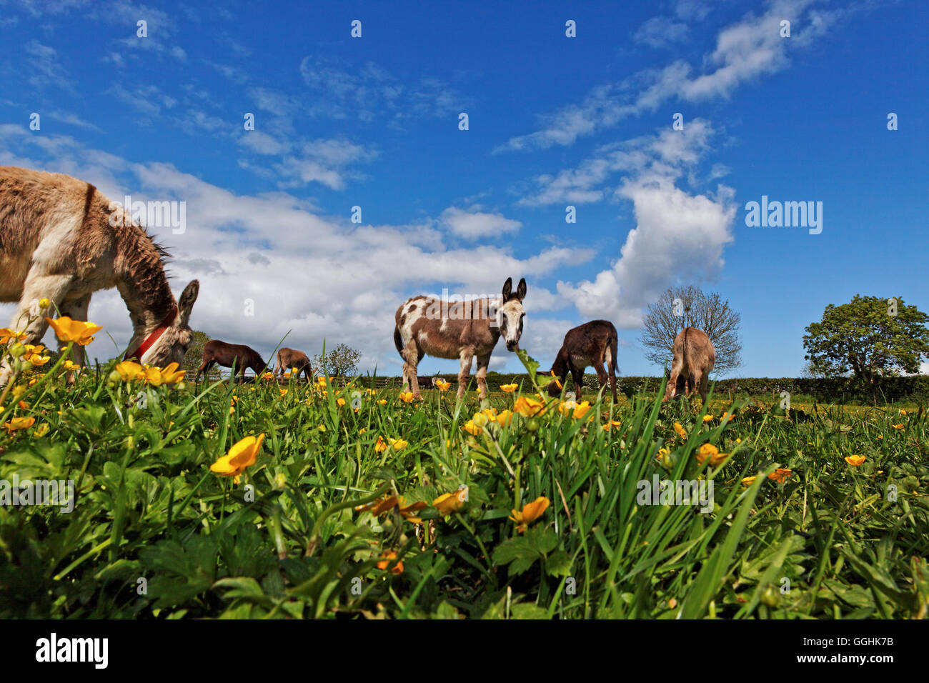 The Donkey Sanctuary, Sidmouth, Devon, England, Great Britain - Stock Image