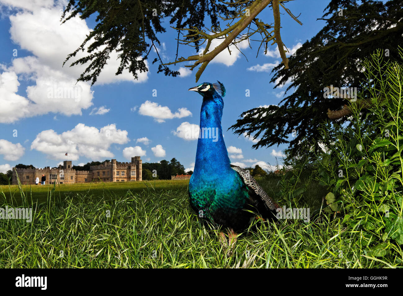 Peacock at Leeds Castle, Maidstone, Kent, England, Great Britain - Stock Image