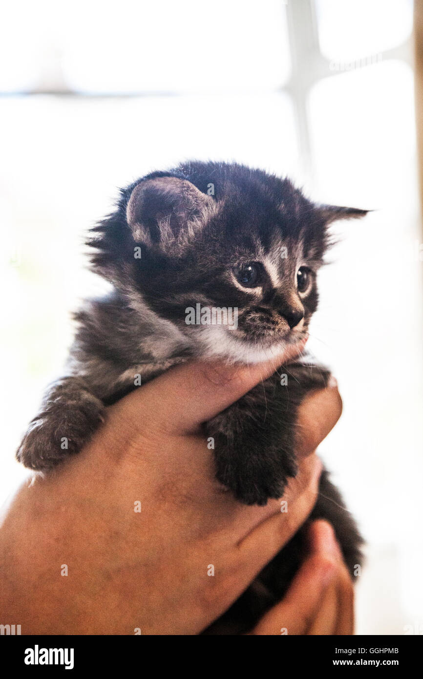 Four week old kitten being held up. - Stock Image