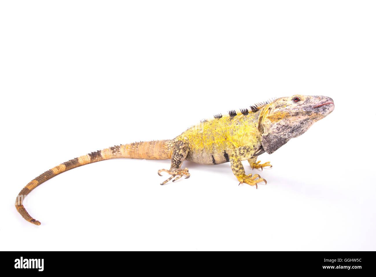Mexican spiny-tailed iguana (Ctenosaura pectinata) - Stock Image