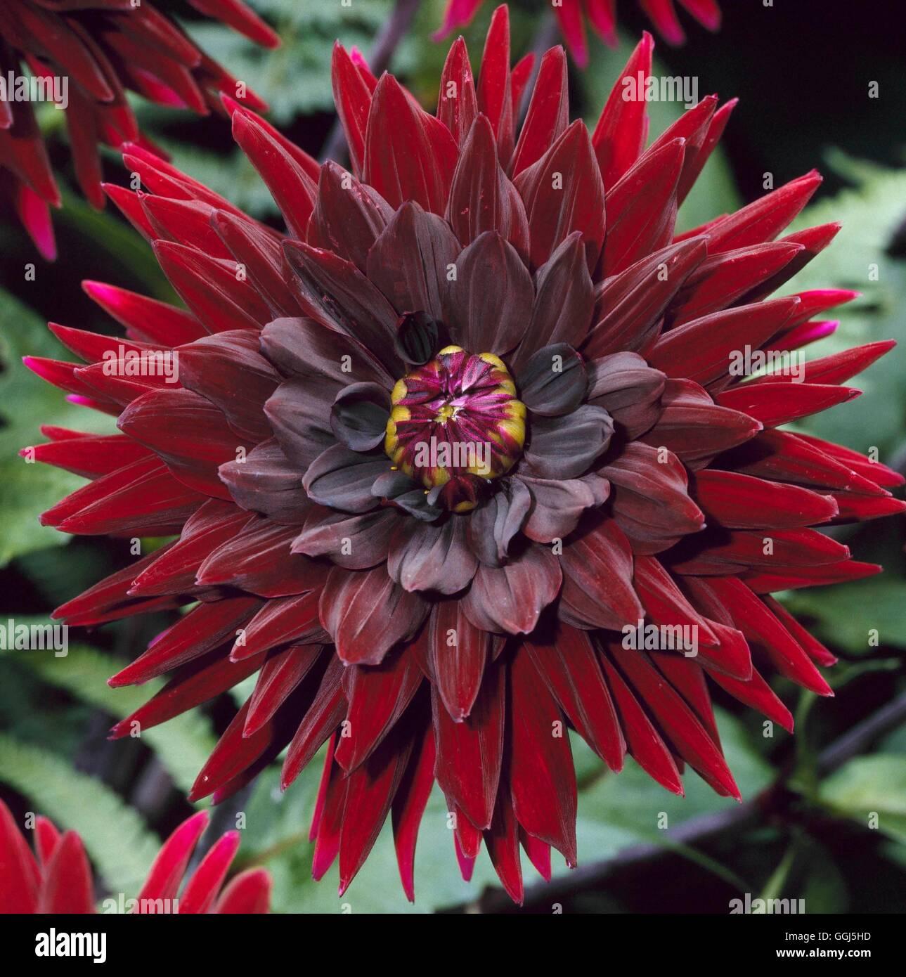 Dahlia - `Dark Stranger' AGM - (Small Semi-cactus)   BUL081766 - Stock Image