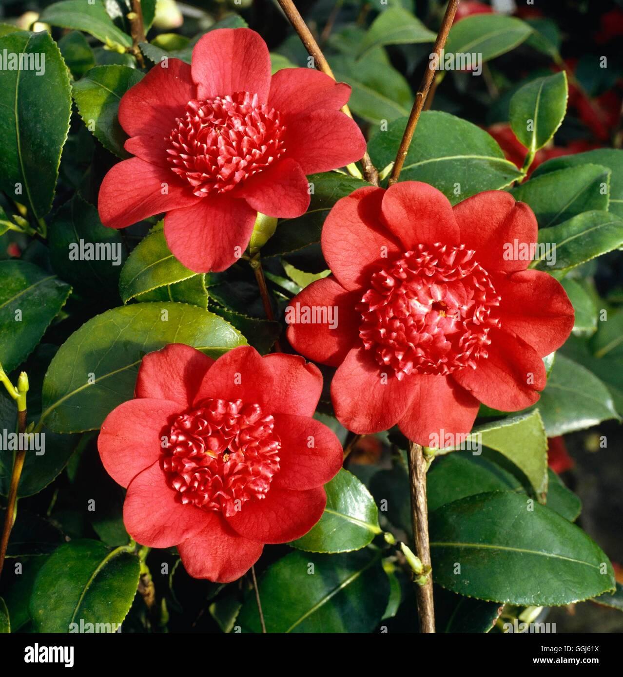 Camellia japonica - `Bob's Tinsie' AGM   CAM013679 - Stock Image