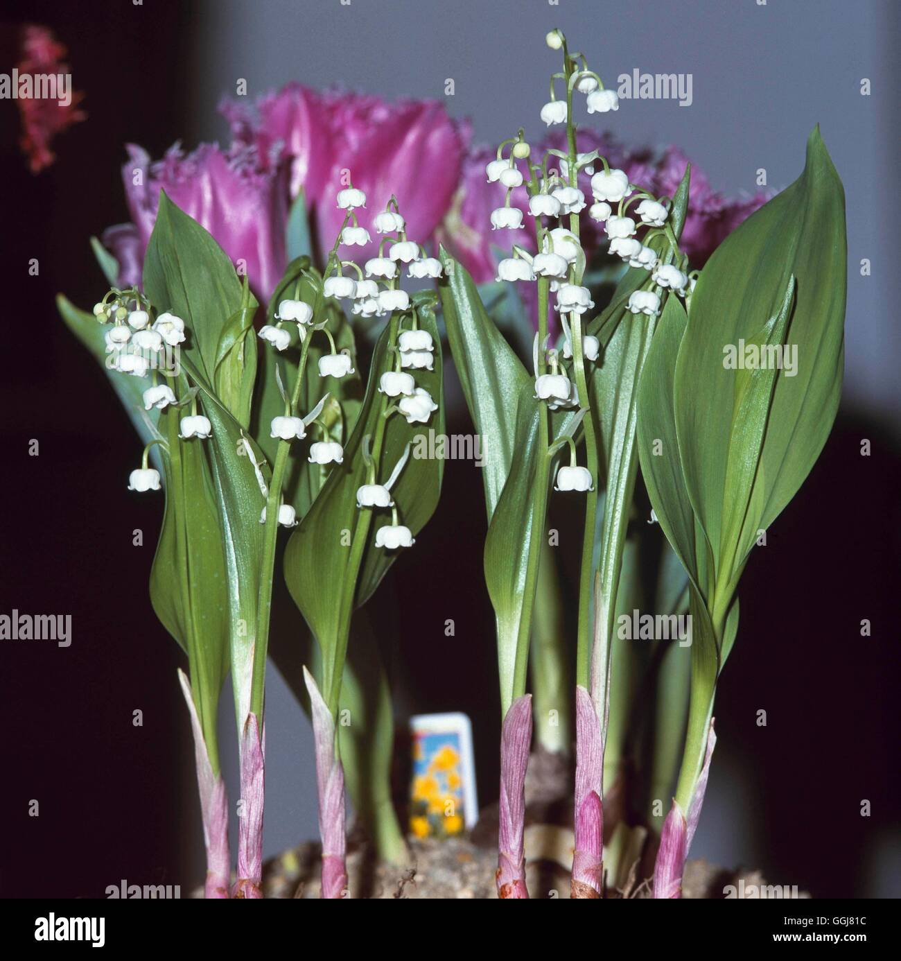 Lilyofthevalley stock photos lilyofthevalley stock images alamy container perennals planted with convallaria majalis agm ctr107233 ph stock image izmirmasajfo