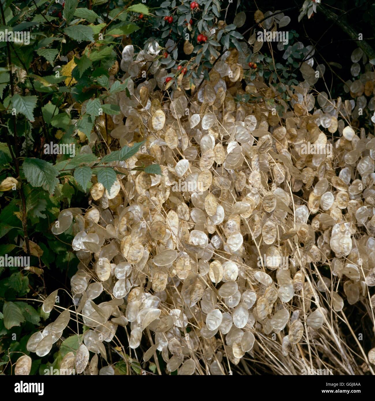Dried Plants - Lunaria annua (Honesty)   DRI018642 - Stock Image