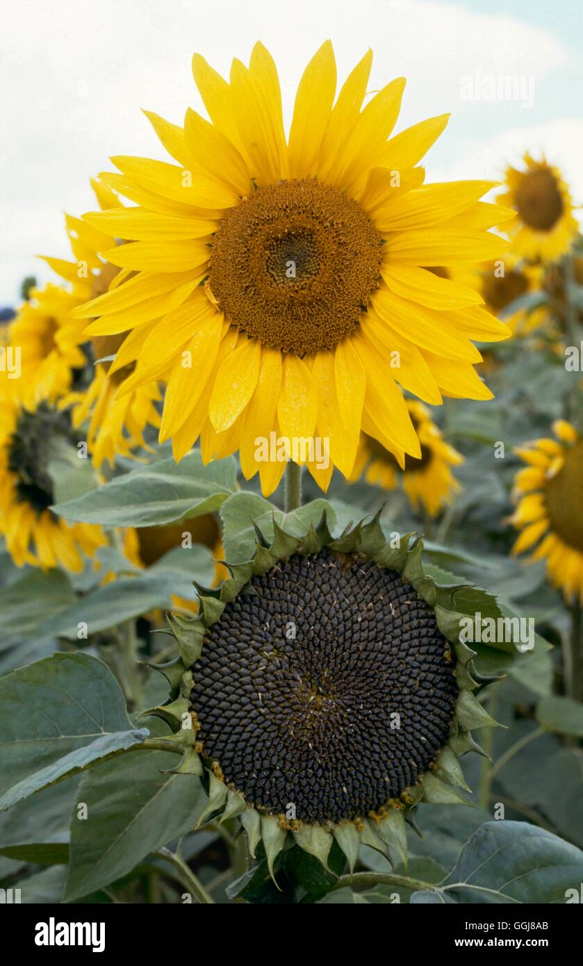 Dried Plants - Sunflower - showing full flower and drying seed head   DRI019548     Photos Horticult - Stock Image