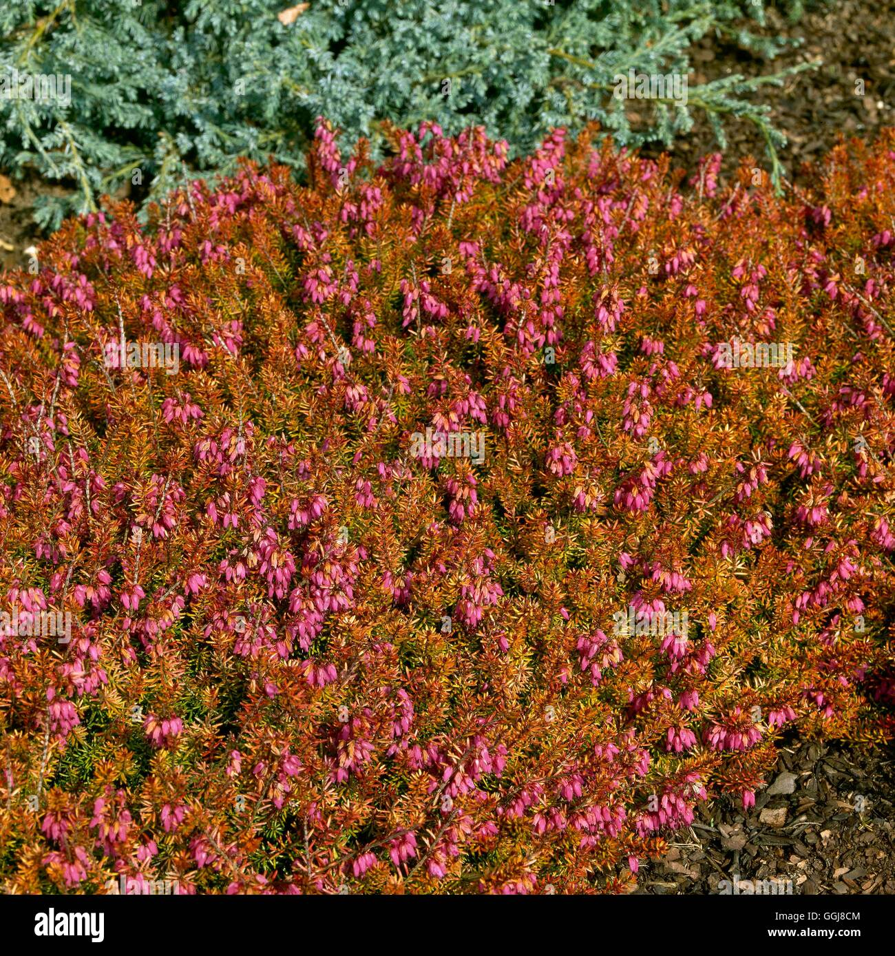 Erica carnea - `Ann Sparkes' (Feb-Apr)   ERC038494 - Stock Image