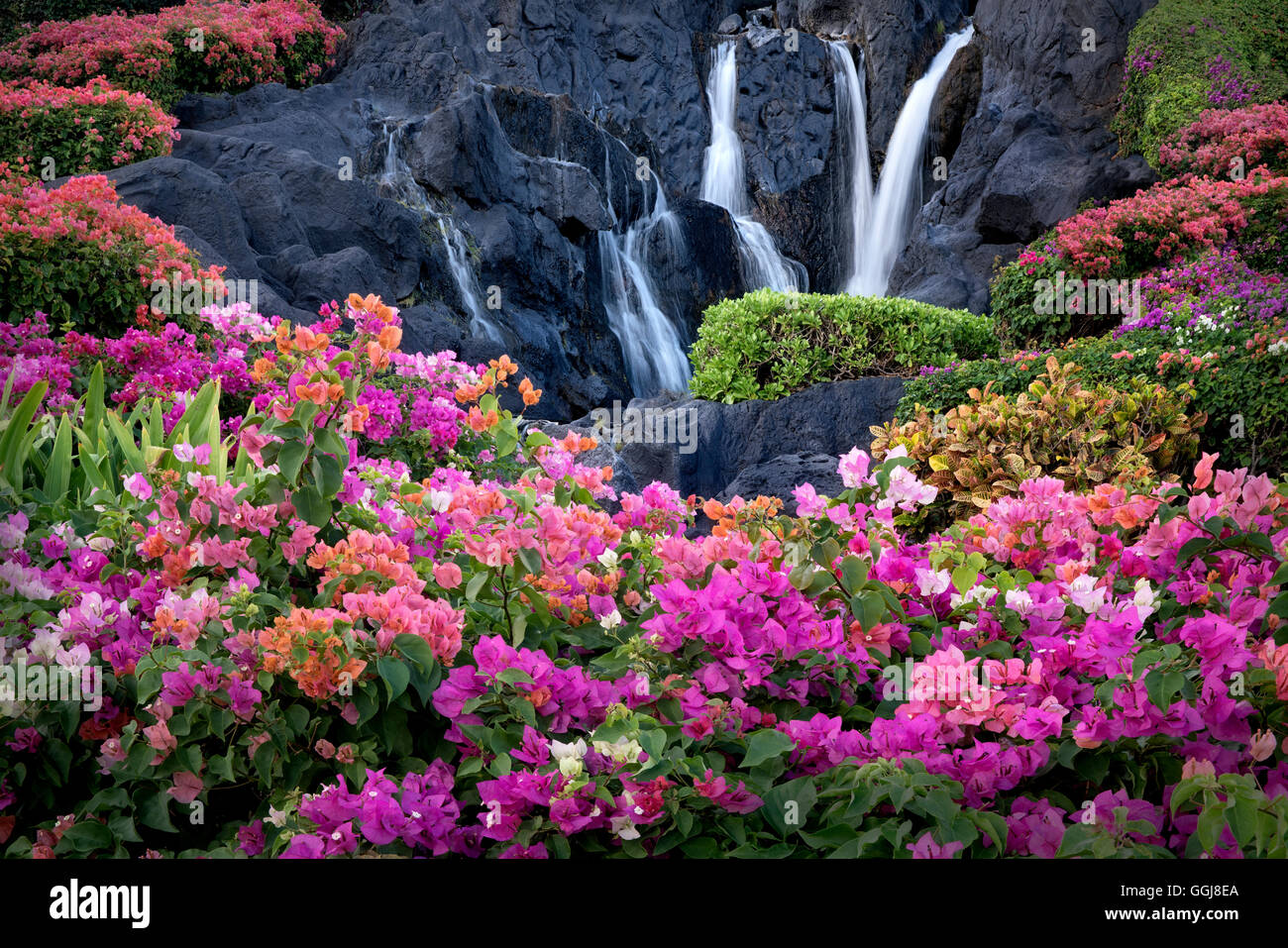 Bougainvillea flowers and waterfall at garden in Kauai, Hawaii - Stock Image