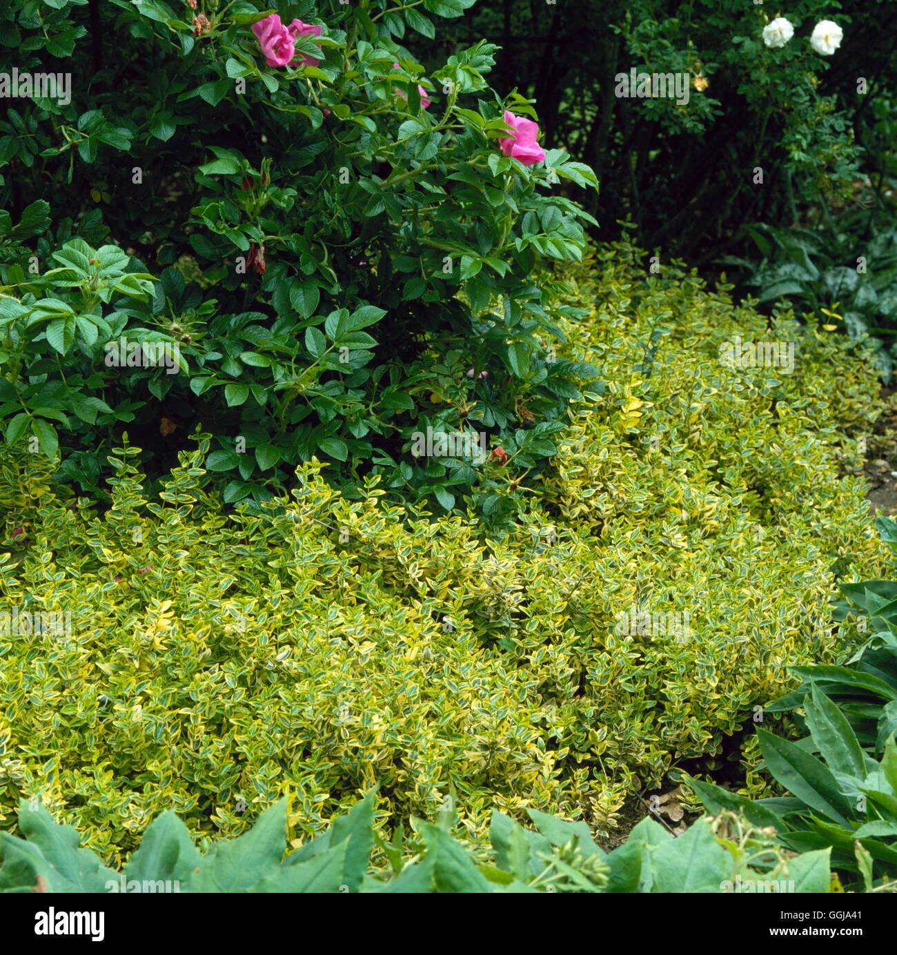 Ground Cover - Euonymus fortunei `Emerald `n' Gold' AGM   GDC004174  /Photosh - Stock Image