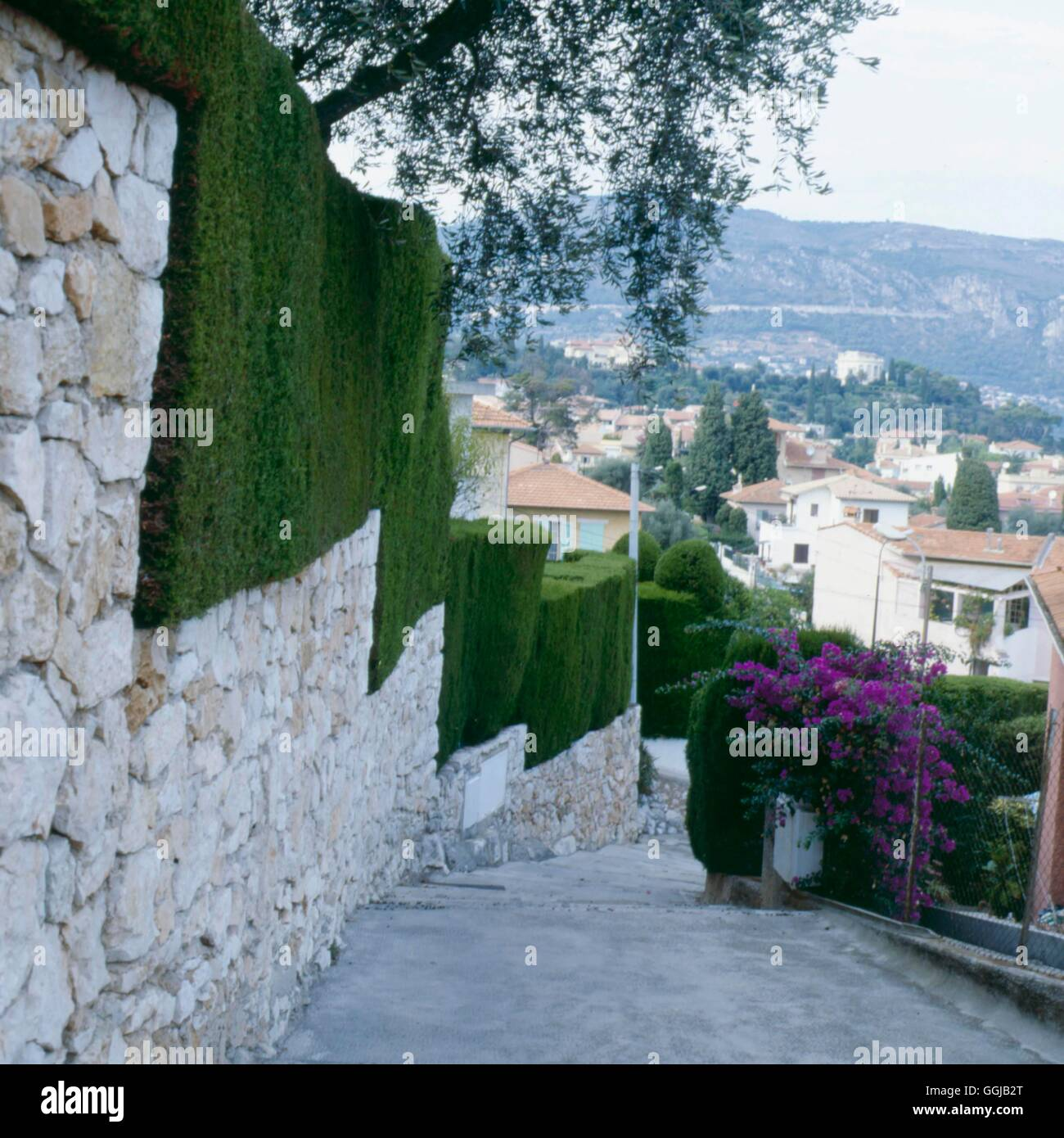 Hedge - of Cupressus macrocarpa in the South of France- - Monterey Cypress   HED054324     Photos Ho - Stock Image