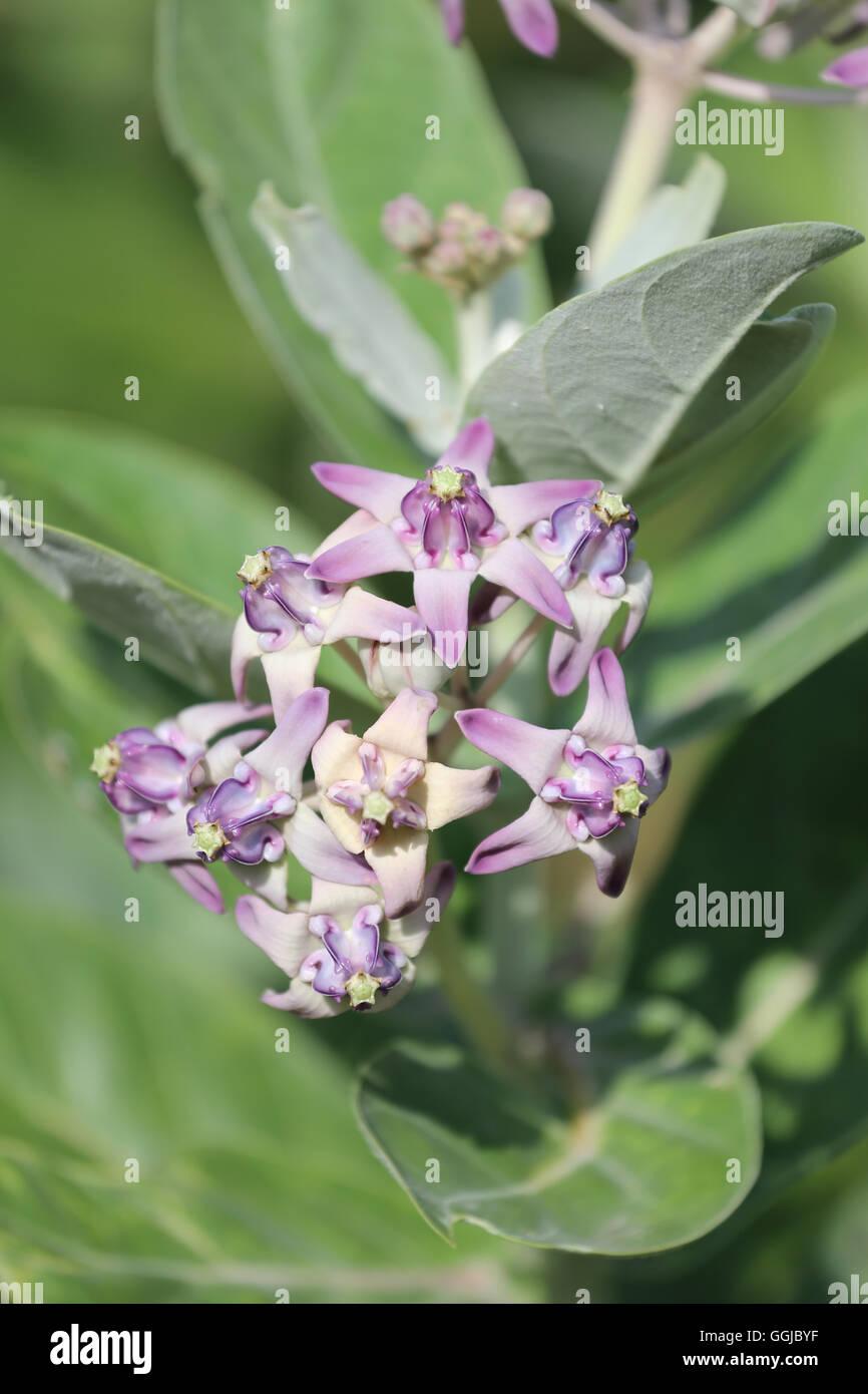 Crown Flower Calotropis Gigantea Stock Photos Crown Flower