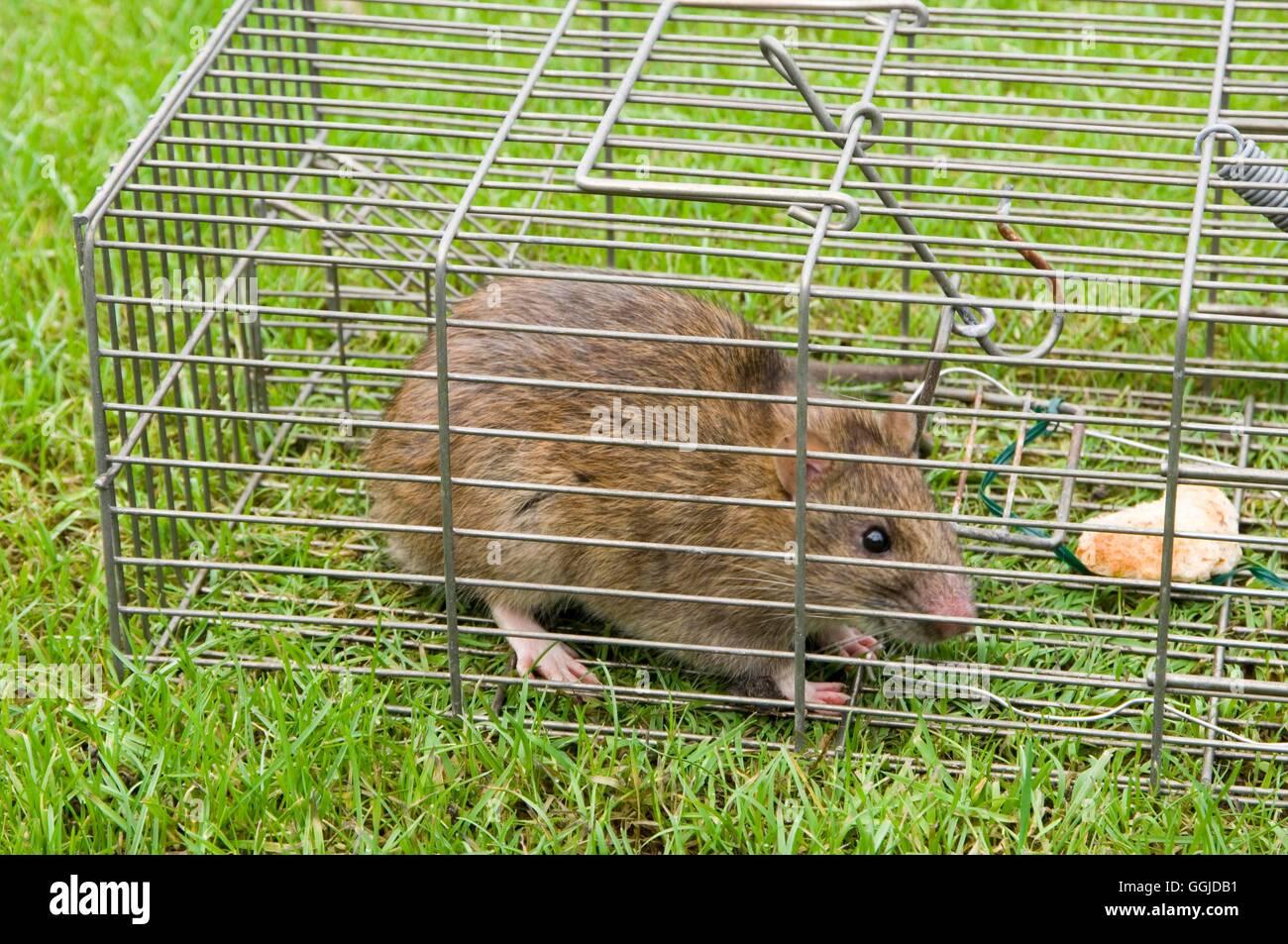 Rat- in humane trap- - (Rattus norvegieus)   MIW250775 - Stock Image