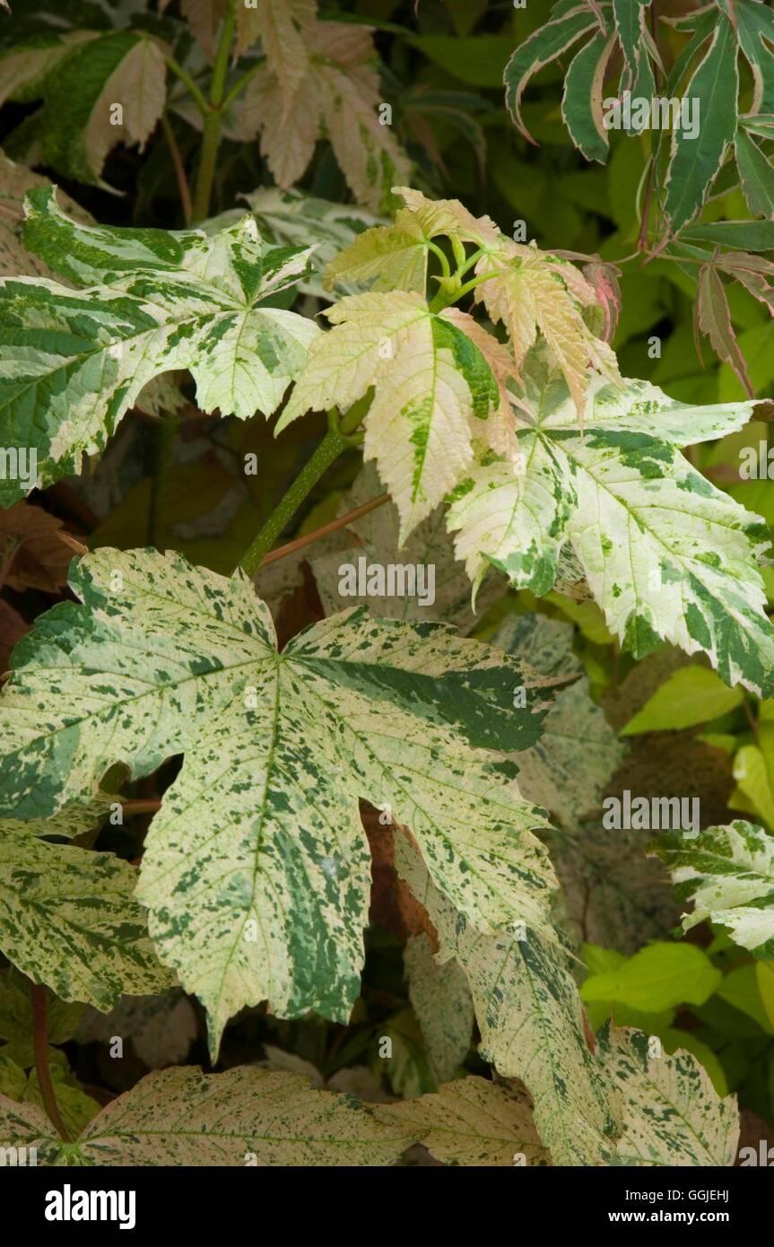 Acer Pseudoplatanus F Variegatum Esk Sunset Miw251409 Stock Photo