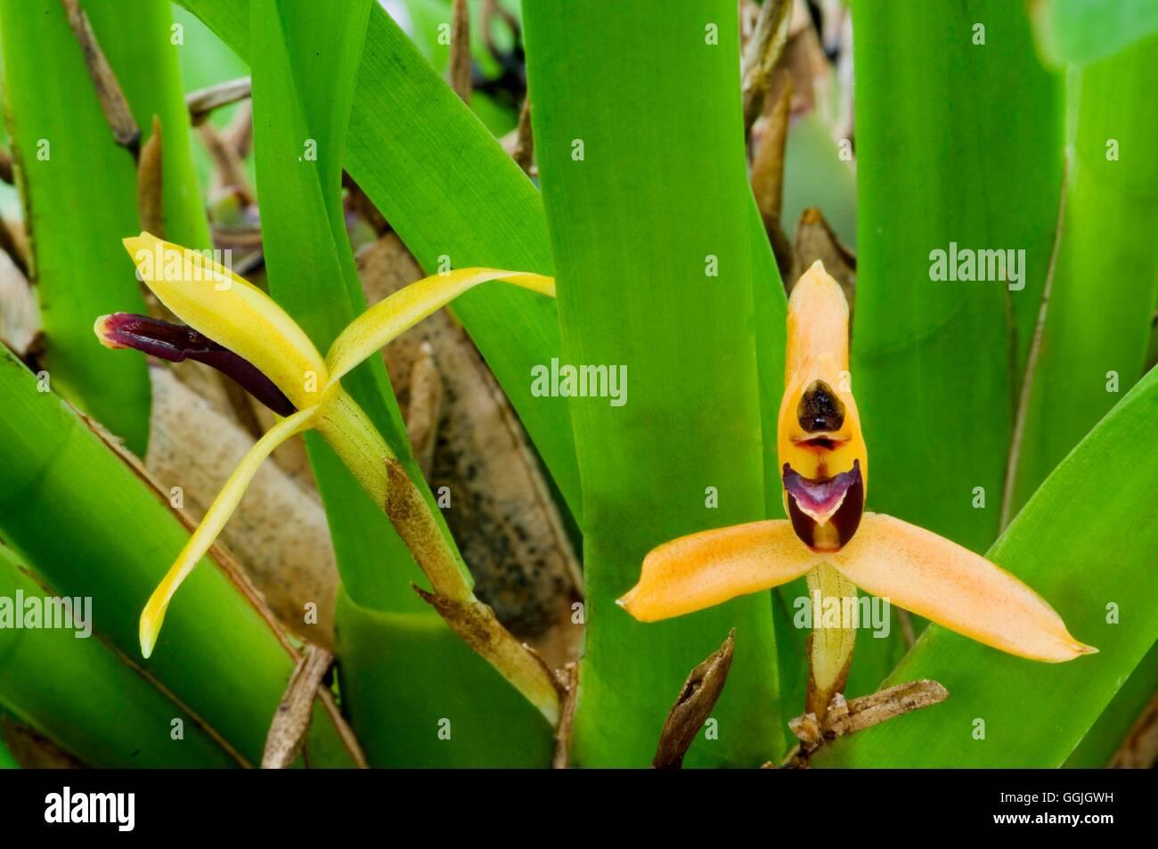 Maxillaria proboscidea   MIW252755 - Stock Image