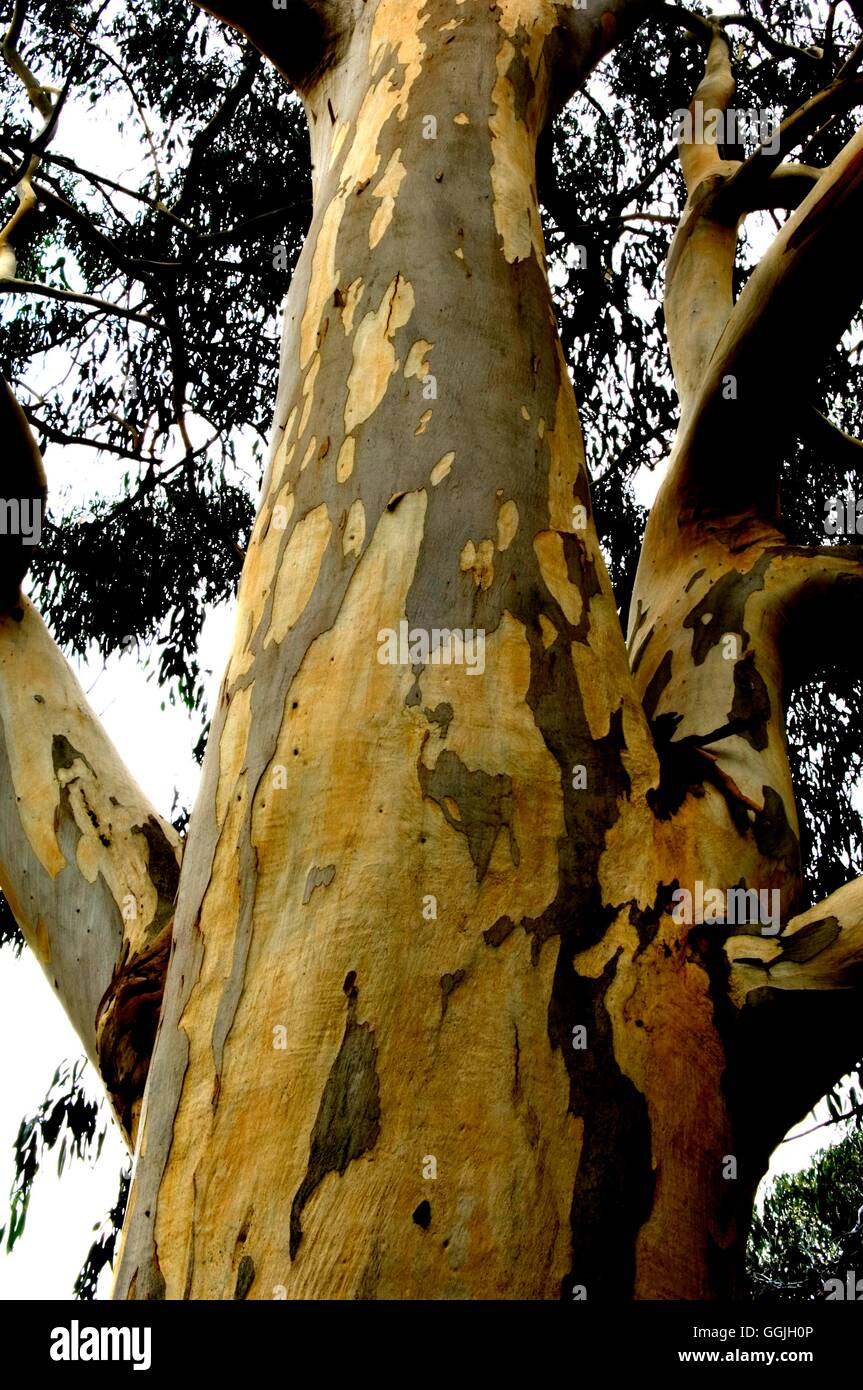 Bark of Eucalyptus viminalis- - Ribbon Gum   MIW252822 - Stock Image