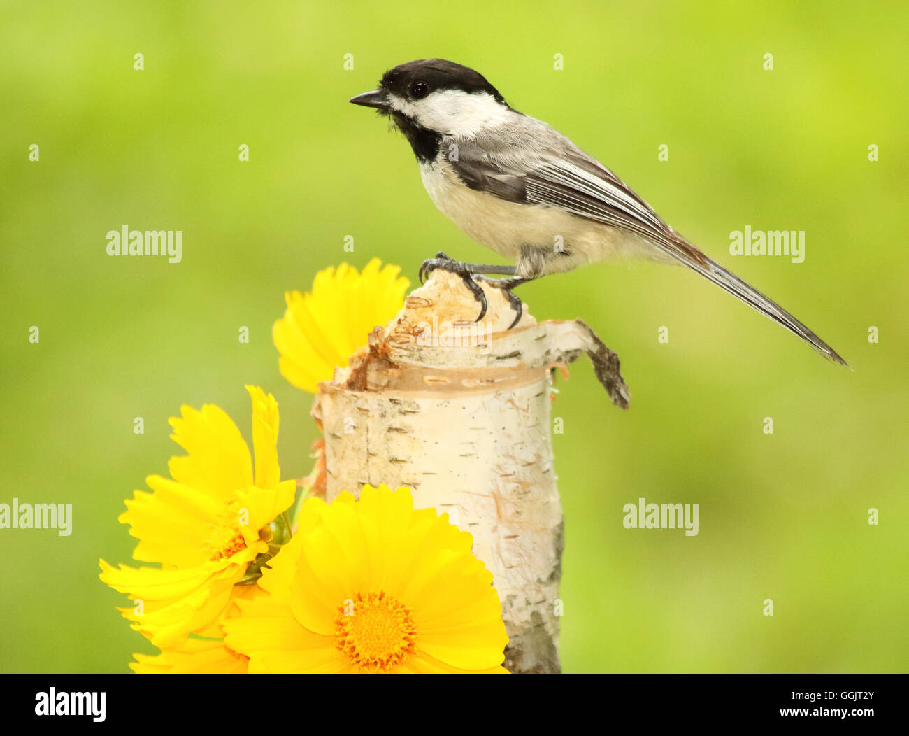 A Black-capped Chickadee atop a perch. - Stock Image
