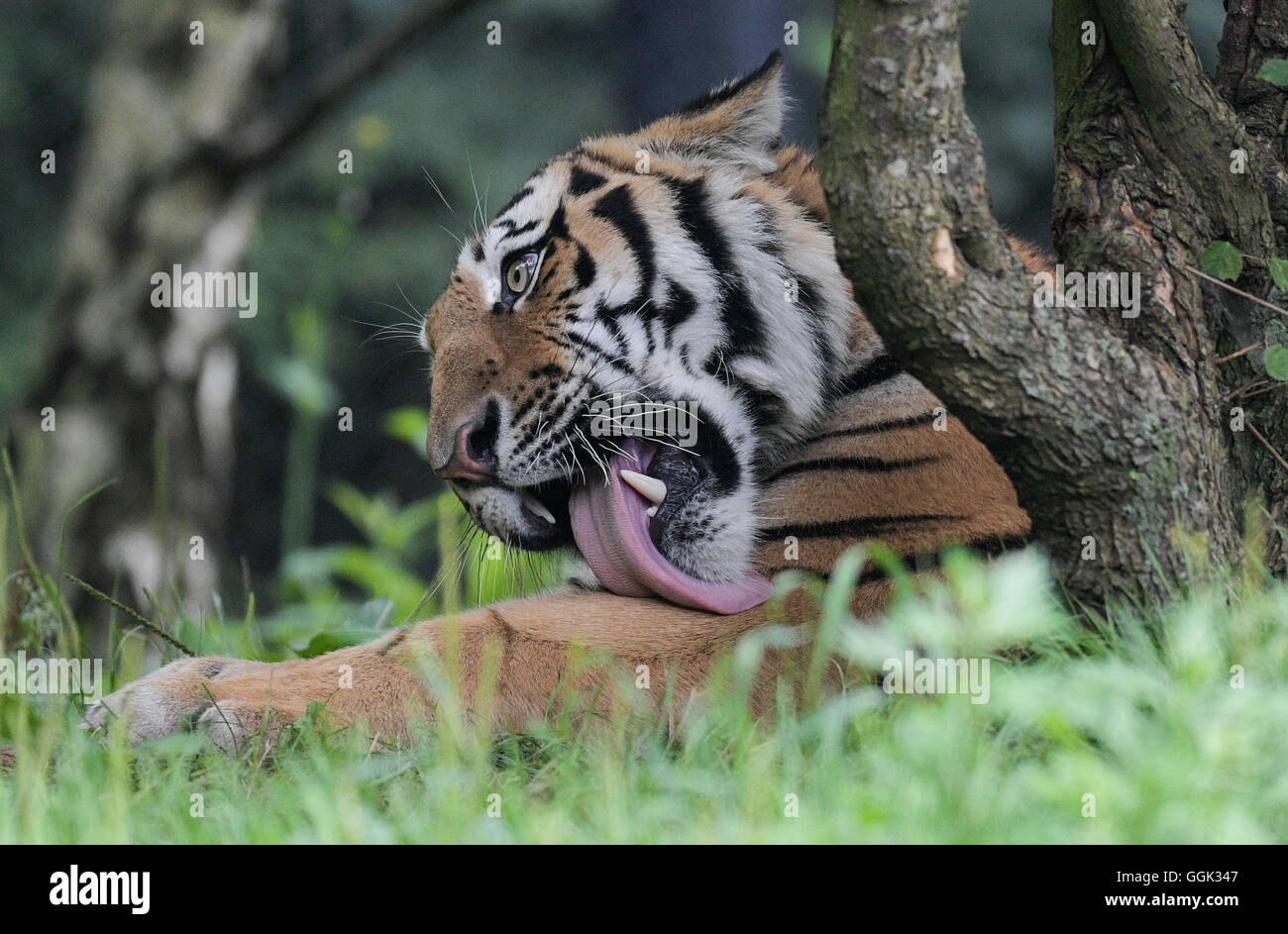 Tiger shows his tongue at Hagenbeck's zoo in Hamburg, Germany, August 4, 2016. - Stock Image