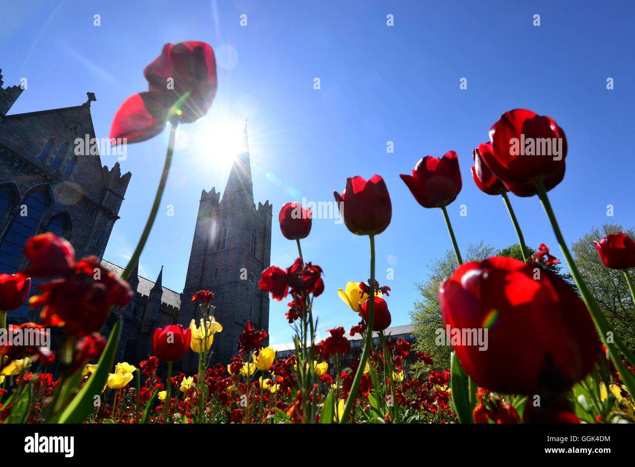 Tulips infront of St. Patrick's Cathedral, Dublin, Ireland - Stock Image