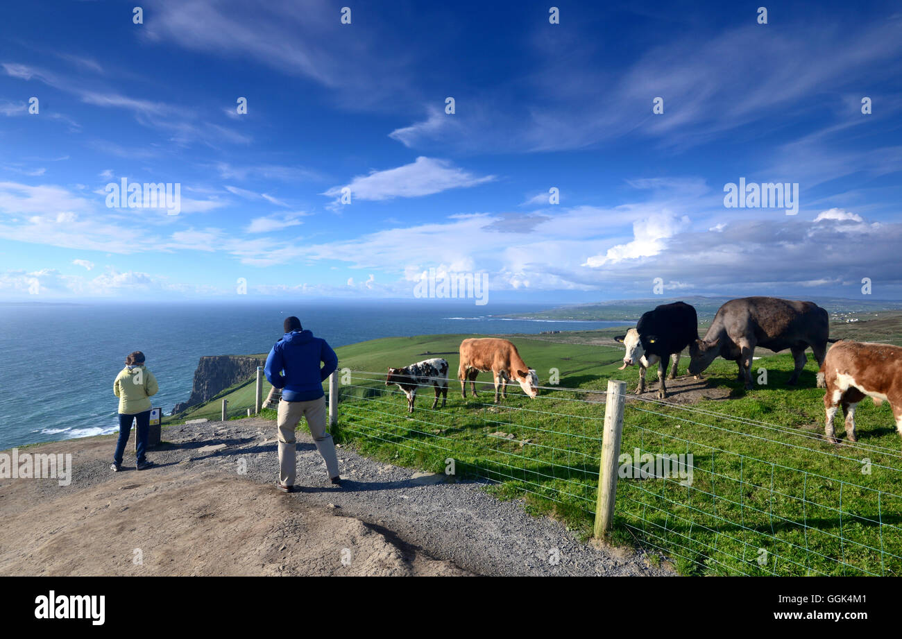 Cows in a field, Clare, West coast, Ireland Stock Photo