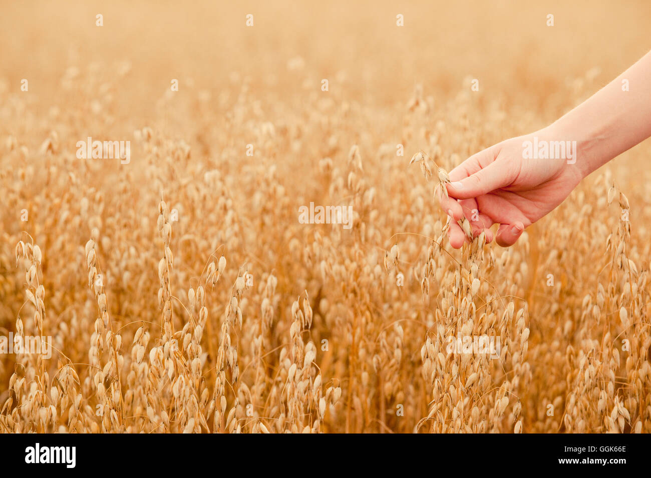 Hand touching ripe seeds in an oat field, Frankenau, Hesse, Germany, Europe - Stock Image