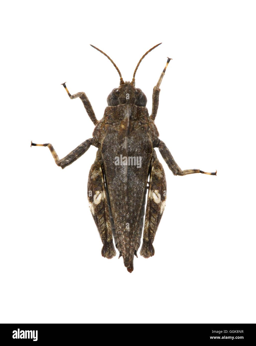 Common Groundhopper - Tetrix undata - Stock Image